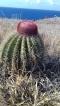 Cactus appelé
